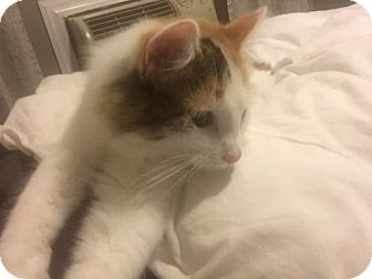 Domestic Mediumhair Cat for adoption in Washington, D.C. - Ambrosia (Has Application)