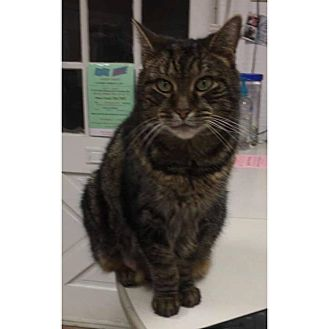 Domestic Shorthair Cat for adoption in Acushnet, Massachusetts - Delilah