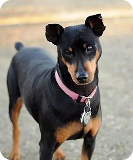 Miniature Pinscher Dog for adoption in Newhall, California - Nani