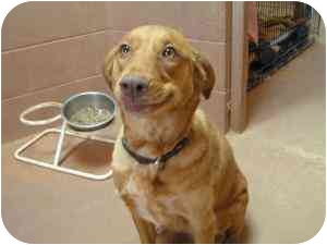 Cattle Dog/Labrador Retriever Mix Dog for adoption in Phoenix, Arizona - Sparkle
