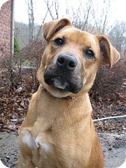 Shepherd (Unknown Type)/Labrador Retriever Mix Dog for adoption in Metamora, Indiana - Maddi