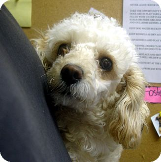 Toy Poodle Mix Dog for adoption in baltimore, Maryland - Malibu