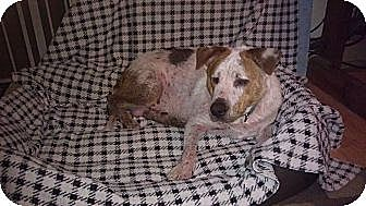 Beagle/Catahoula Leopard Dog Mix Dog for adoption in Germantown, Maryland - Prince