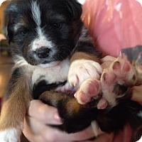 Adopt A Pet :: Pooh Bear, aka Baxter - Houston, TX