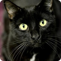 Domestic Shorthair Cat for adoption in Omaha, Nebraska - Samantha