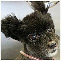 Adopt A Pet :: Samson - Forked River, NJ