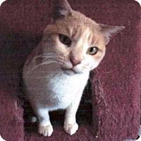 Adopt A Pet :: Princess *reduced fee FIV positive kitty* - Kyle, SD