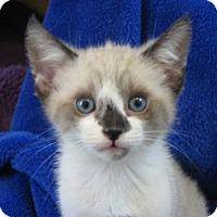 Adopt A Pet :: Snickerdoodle - Davis, CA