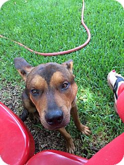 Shepherd (Unknown Type) Mix Dog for adoption in Dallas, Texas - zzBuster Posey