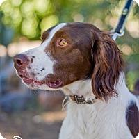 Adopt A Pet :: Drake - Phoenix, AZ