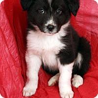 Adopt A Pet :: Vegas - St. Louis, MO