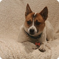 Norwegian Buhund/Terrier (Unknown Type, Small) Mix Dog for adoption in Bedford Hills, New York - Xena