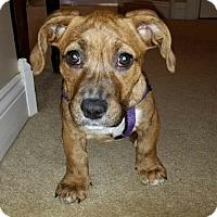 Adopt A Pet :: Candy - Barnegat, NJ