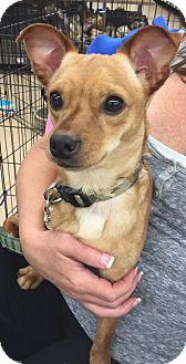 Chihuahua Mix Dog for adoption in Palm Harbor, Florida - Baxter