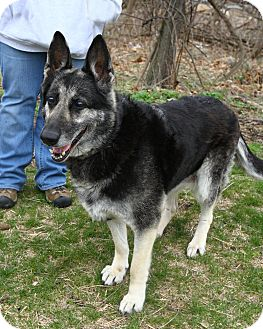 German Shepherd Dog Mix Dog for adoption in Oakland, New Jersey - Sasha