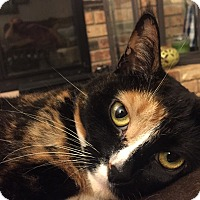 Calico Cat for adoption in Rochester, Michigan - Lexi*DECLAWED*