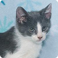Domestic Shorthair Kitten for adoption in Elmwood Park, New Jersey - Andre