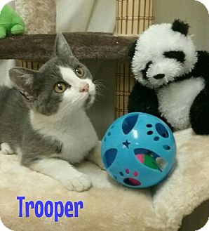 Domestic Shorthair Cat for adoption in Kendallville, Indiana - Trooper