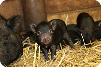 Pig (Potbellied) for adoption in Roanoke, Virginia - Baby Potbelly Pigs