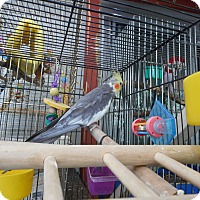 Adopt A Pet :: Jack and Jill Cockatiels - Vancouver, WA