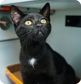 Domestic Shorthair Cat for adoption in Los Angeles, California - Demi