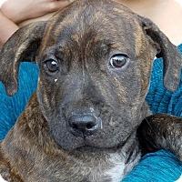 Adopt A Pet :: Otis - Sunnyvale, CA