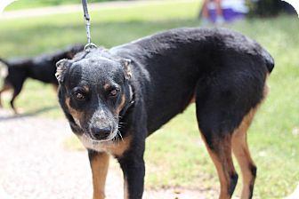 Rottweiler Mix Dog for adoption in McAllen, Texas - James