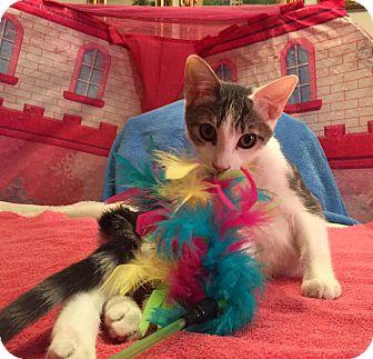 Domestic Shorthair Kitten for adoption in Lombard, Illinois - Scrumptious