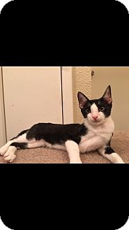 Domestic Shorthair Cat for adoption in Arlington/Ft Worth, Texas - Cooper
