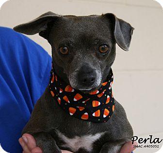 Chihuahua Mix Dog for adoption in Santa Maria, California - Perla