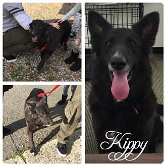 Shepherd (Unknown Type)/Border Collie Mix Dog for adoption in Hope, British Columbia - Kippy