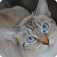 Adopt A Pet :: Siam - Sierra Vista, AZ