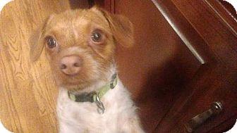 Dachshund/Chihuahua Mix Dog for adoption in Wyanet, Illinois - Pumpkin