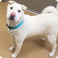 Shar Pei/Terrier (Unknown Type, Medium) Mix Dog for adoption in Apple Valley, California - Snowy #162465