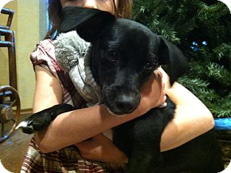 Dachshund/Boston Terrier Mix Puppy for adoption in Boerne, Texas - Barlow