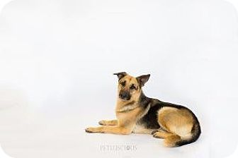 German Shepherd Dog/German Shepherd Dog Mix Dog for adoption in Los Alamos, New Mexico - Mandy