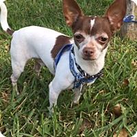Adopt A Pet :: Major - Davie, FL