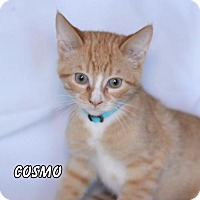 Adopt A Pet :: Cosmo - Hot Springs Village, AR