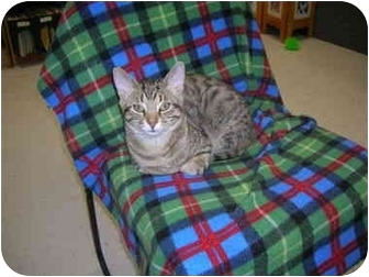 Domestic Shorthair Kitten for adoption in Windsor, Ontario - Casey