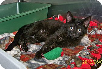 Domestic Shorthair Kitten for adoption in Dover, Ohio - Malcom