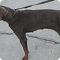Adopt A Pet :: Amber - Santee, CA