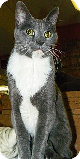 Domestic Shorthair Cat for adoption in Converse, Texas - Beasley