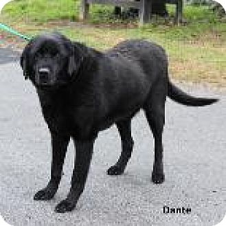 Labrador Retriever Mix Dog for adoption in Madisonville, Tennessee - Dante (SCP)