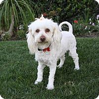 Adopt A Pet :: LARISSA - Newport Beach, CA