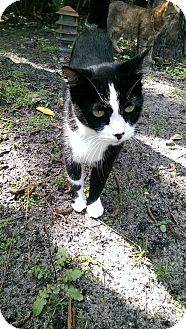 Domestic Shorthair Cat for adoption in Naples, Florida - Annabelle