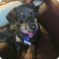 Adopt A Pet :: Pollyanna - Los Angeles, CA