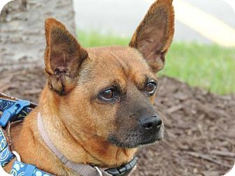 Dachshund/Chihuahua Mix Dog for adoption in Washington, D.C. - PRINCESS MARIE