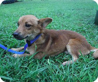 Terrier (Unknown Type, Small)/Shepherd (Unknown Type) Mix Dog for adoption in Batesville, Arkansas - Caleb