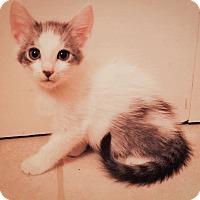 Turkish Van Cat for adoption in Cerritos, California - Ash