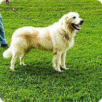 Great Pyrenees Dog for adoption in Franklin, Tennessee - CHARLEY